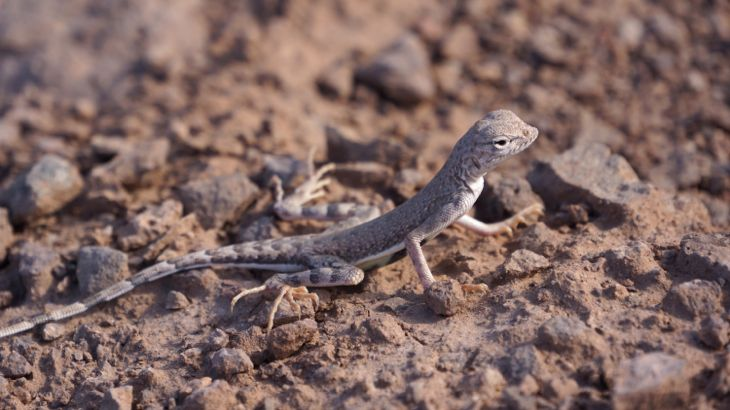 deathvalleylezard